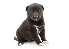 Serious black puppy Stock Image