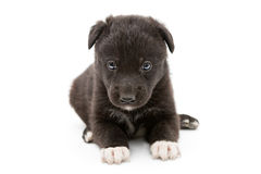 Serious black puppy Stock Photo