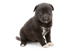 Serious black puppy Royalty Free Stock Photos