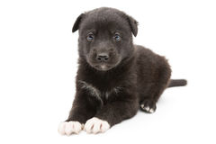 Serious black puppy Royalty Free Stock Photography