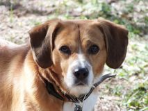 Serious brown dog autdoor photo. Photo of Serious dog looking at you Royalty Free Stock Photo