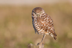 Serious burrowing owl watching at camera Athene cunicularia. Cape Coral, Florida Stock Image