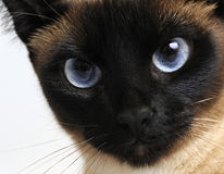 Serious cat. With blue eyes Stock Photography