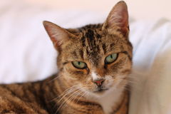 Serious cat. With beautiful eyes Royalty Free Stock Photo