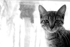 Serious Cat. A black and white photo of a cat Stock Images