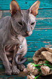 Serious cat breed Sphynx Royalty Free Stock Photos