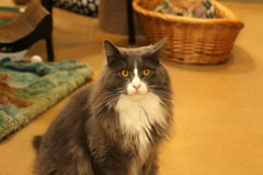 The serious cat. This grey cat with with markings had a very serious look on his face Royalty Free Stock Photos