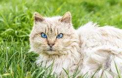 Serious cat. The intense eyes of this cat surprised me when I was away from him. Although he was a stray cat has left approach with confidence Royalty Free Stock Photo