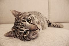 A serious cat laying on the couch. A serious a posing for the camera Royalty Free Stock Photo