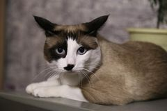 Serious cat lies. Fluffy pet. the funny cat with blue eyes lies and looks in the camera, has a rest. it is white a brown black kitty stock photos