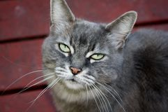 Serious cat royalty free stock photography