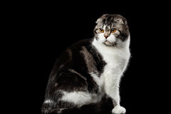 Free Serious Cat Of Scottish Fold Breed On Isolated Black Background Stock Images - 81353664