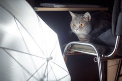 Serious cat in photo studio. Is sitting on a stool and looking at the umbrella Stock Photos