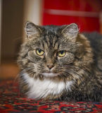 Serious cat in red home interior, close up Royalty Free Stock Photos