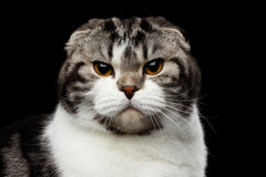Serious cat of scottish fold breed on isolated black background. Close-up portrait of grumpy cat of scottish fold breed on isolated black background, small ears royalty free stock images