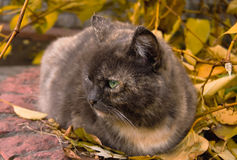 Serious cat sitting in autumn leaves Stock Photography