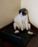 Serious cat sitting in front of laptop and stares at the monitor Royalty Free Stock Photos