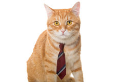 Serious  cat with a  tie Royalty Free Stock Photo
