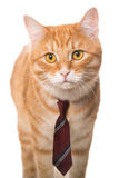 Serious  cat with a  tie Royalty Free Stock Image