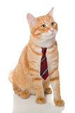 Serious  cat with a  tie Stock Images