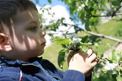 Serious child sniffs apple tree flowers Royalty Free Stock Images