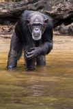 Serious chimpanzee. A chimpanzee on Monkey Island in Liberia stares deeply into my soul stock photo