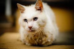A Serious cute white cat Royalty Free Stock Photo