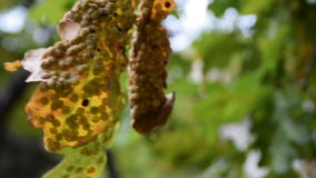 A serious disease of ornamental tree. Autumn time stock video footage