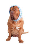 Serious dog Royalty Free Stock Images