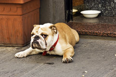 Serious dog. Serious bulldog in florence. Italy Royalty Free Stock Photography