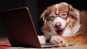 Serious dog-businessman working with a laptop. Funny animals concept. 4K video royalty free stock images