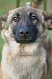 Serious Dog Royalty Free Stock Photo