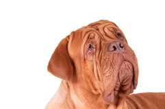 Serious dog de bordeaux Royalty Free Stock Image