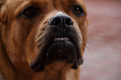 Serious dog face with pieces of food on the nose Royalty Free Stock Image