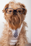 Serious dog in glasses Stock Images