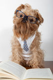 Serious dog in glasses Royalty Free Stock Image