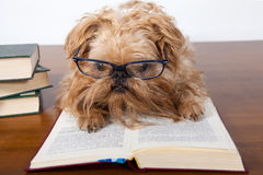 Serious dog in glasses Stock Photo