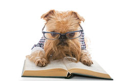 Serious dog in glasses reading a book Royalty Free Stock Image