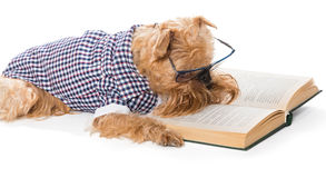 Serious dog in glasses reading a book Royalty Free Stock Photos