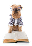 Serious dog in glasses reading a book Royalty Free Stock Photo