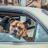 Serious dog with Head out Window in moving car. Brooklyn NY US stock photo