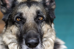 Serious Dog Royalty Free Stock Photography