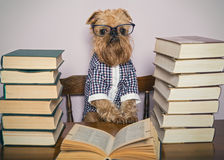 Serious Dog Reads Books Royalty Free Stock Image