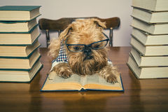 Serious dog  reads books Stock Photography