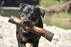 Serious dog with stick Royalty Free Stock Photography