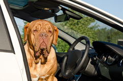 Serious driver dog inside the car Stock Photo