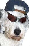 Serious Dude. Old English Sheepdog, with sunglasses and baseball cap looking very serious royalty free stock photos