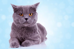 Serious english cat Royalty Free Stock Photos
