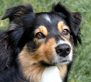 Serious Expression. A tri-colored Australian Shepherd with a serious, intense look royalty free stock photo