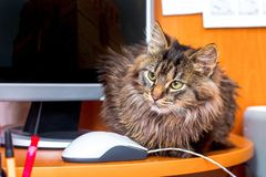 A serious fluffy cat in the office near the computer and the mouse. The boss in the office monitors subordinate employees_ royalty free stock image